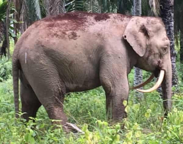 This elephant earned the nickname Sabre for his unusually downward curved tusks. He was subsequently killed by ivory poachers.