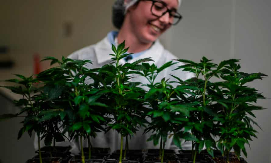 Cannabis production at Tilray's production site in Cantanhede, Portugal.