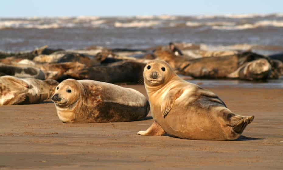 Grey Seals on the beach at Donna Nook.