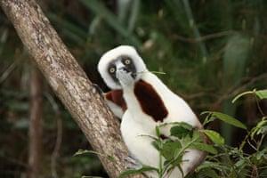 A sifaka lemur