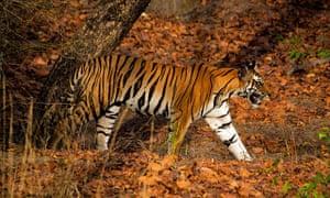 Tigress in Bandhavgarh Tiger Reserve