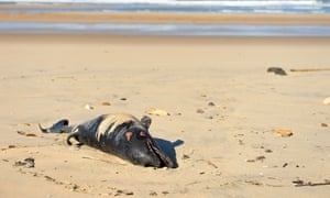A dead dolphin lies on a beach near Lacanau, southwestern France: 'The dolphins found on the shore are likely to be a small proportion of the total killed. Most corpses sink or drift out to sea.'