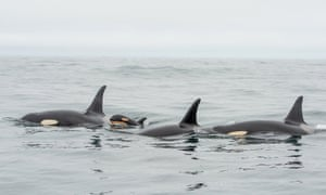 A pod of endangered orcas has been spotted with its first calf in three years off the coast of British Columbia, Canada