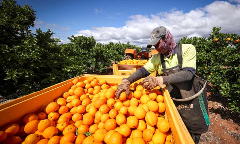Fruit picker on an orange orchard