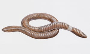 Giant gippsland earthworm (Megascolides australis). Artwork by Brin Edward. (Photo by DeAgostini/Getty Images)