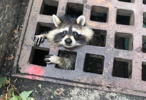 Massachusetts , USA juvenile raccoon looks out from a grate after getting it's head stuck. The Newton fire department were able to rescue the animal.