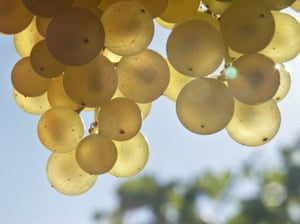 Close-up of grapes hanging from a vine
