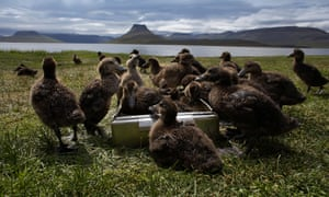 Eider ducklings in Iceland's Westfjords.