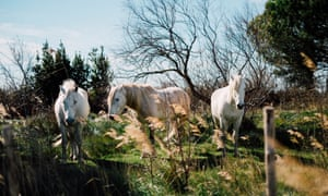 Wild horses, France.