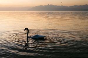 A swan makes its way on Lake Geneva at sunrise, Rolle, Switzerland