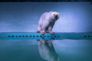 Polar bear 'Pizza' at an aquarium in Grandview shopping mall in Guangzhou province, China. It is the only polar bear in the province.