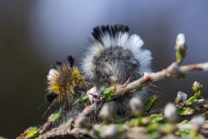 A pale tussock moth caterpillar on Hankley Common, Surrey