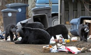 A black bear sow and her cubs forage through garbage cans in Government Hill near downtown Anchorage, Alaska.