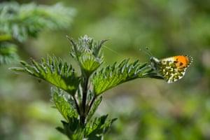 Male orange tip butterfly on a stinging nettle leaf, Hertford, UK
