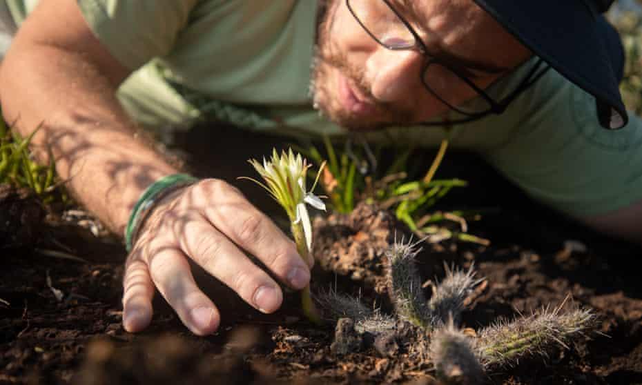 Fernando Silveira, professor at the Federal University of Minas Gerais, examines a rare specimen of Arthrocereus glaziovii