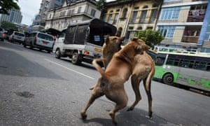 Dogs fight in Yangon