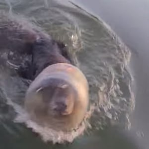 Wisconsin, US A bear swims with a plastic tub stuck on its head in Marsh-Miller Lake. A family managed to dislodge the container
