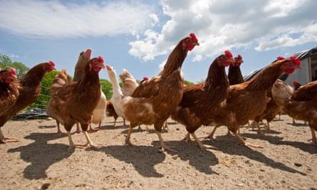 Chickens in chicken yard on chicken farm
