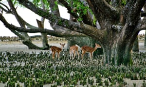 Wild deer in the Sundarbans, the largest mangrove forest in the world.