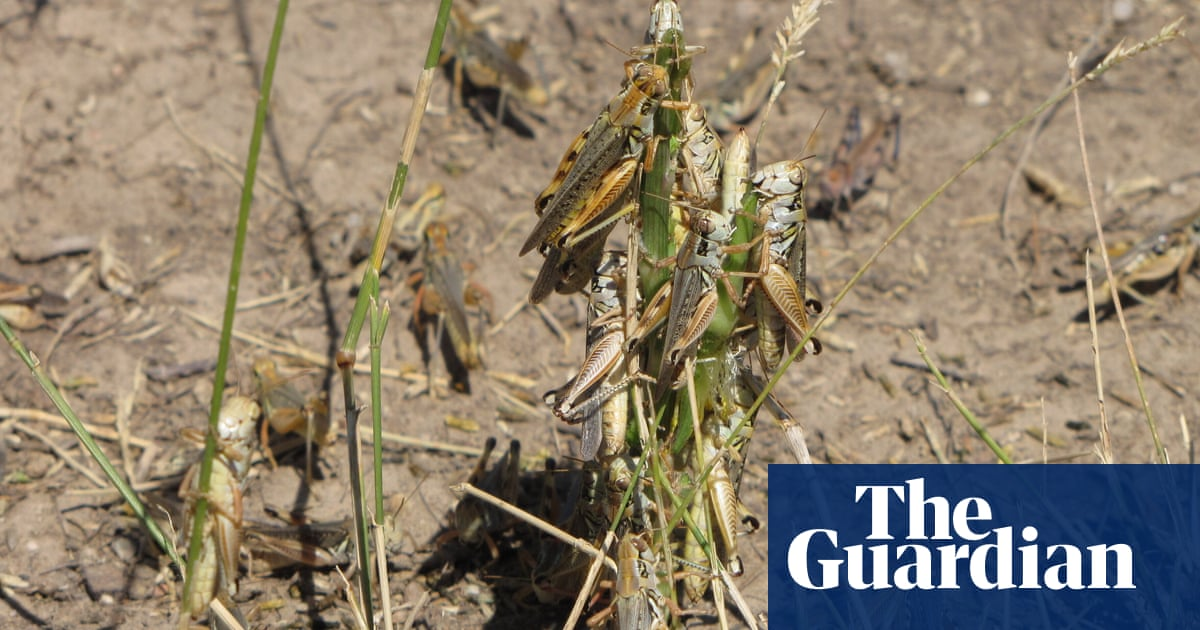 'A scourge of the Earth': grasshopper swarms overwhelm US west