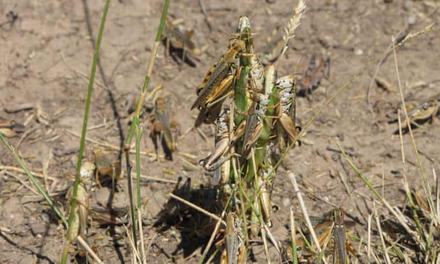 Oregon and Montana have been the hardest hit by the grasshopper swarms, particularly in the arid eastern flank of both states.