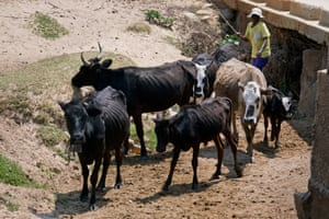 A woman walks with her cattle