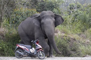A wild elephant appearing in the human inhabited area of Negeri Antara, Aceh, Indonesia in a picture released this week. Across Aceh province, new plantations and a housing construction boom are threatening the natural environment, pitting humans against the already critically endangered wild elephants. Only 500 elephants remain in the wild in Aceh.