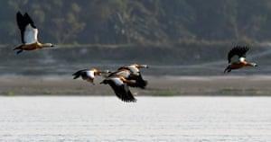 Ruddy shelducks search for food in the Brahmaputra River in Assam, India