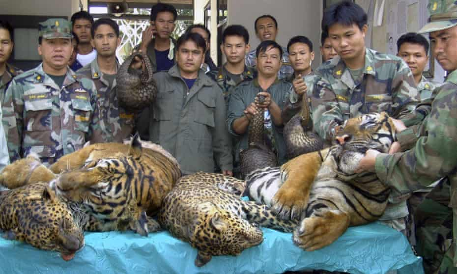 Thai officials display dead tigers, leopards and pangolins seized after a raid on an illegal wildlife trader in Nakhon Phanom province in 2008.