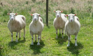 Debbie, Denise, Dianna and Daisy, who were born in July 2007 after being cloned from the same mammary gland cells used to make Dolly.
