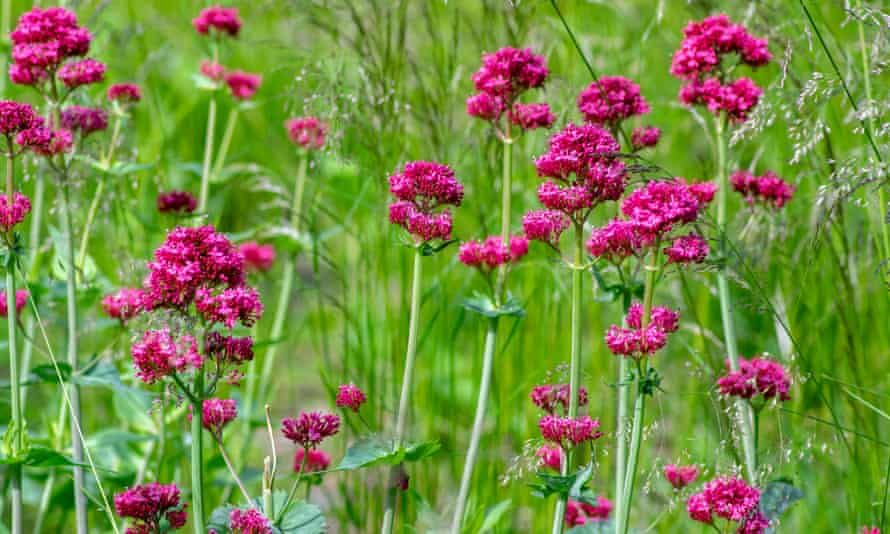 Cut back short-lived species such as centranthus ruber.