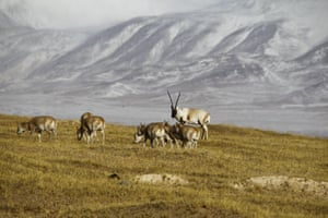 Since then, populations of Tibetan antelope (Chiru, Pantholops hodgsonii) have been gradually recovering under strict protection. The status of Tibetan antelope was down listed from 'Critically endangered' to 'Valuable' in the 2015 China's Biodiversity Red List.