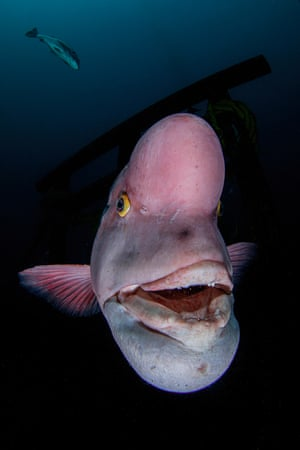 Asian sheepshead wrasse (pink fish with bulbous head)