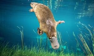 Duck-billed platypus, Ornithorhynchus anatinus, swimming underwater