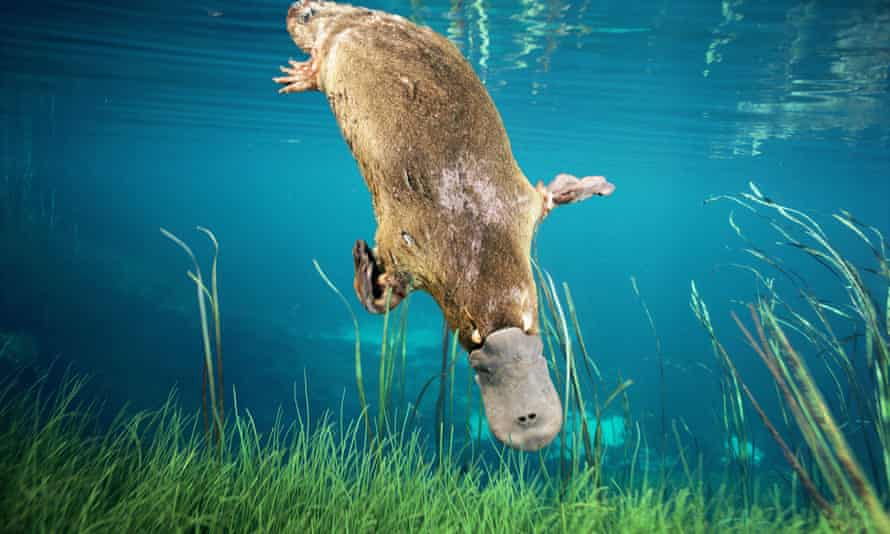 The platypus Ornithorhynchus anatinus, one of the animals that led Darwin to coin the term living fossils.