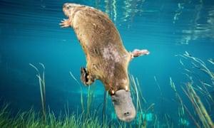 Duck-billed PLATYPUS Ornithorhynchus anatinus Swimming underwater