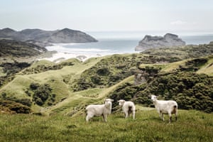 Sheep on a hill in Golden Bay, South Island