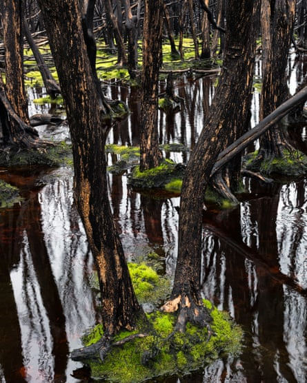 Tea trees – burnt and then flooded
