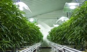 Cannabis plants grow