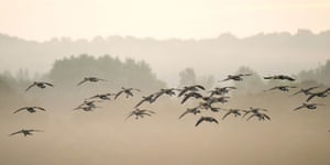 Canada geese fly through early morning mist in Richmond Park.