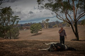 A farmer stands over a dead cow killed by bushfire.