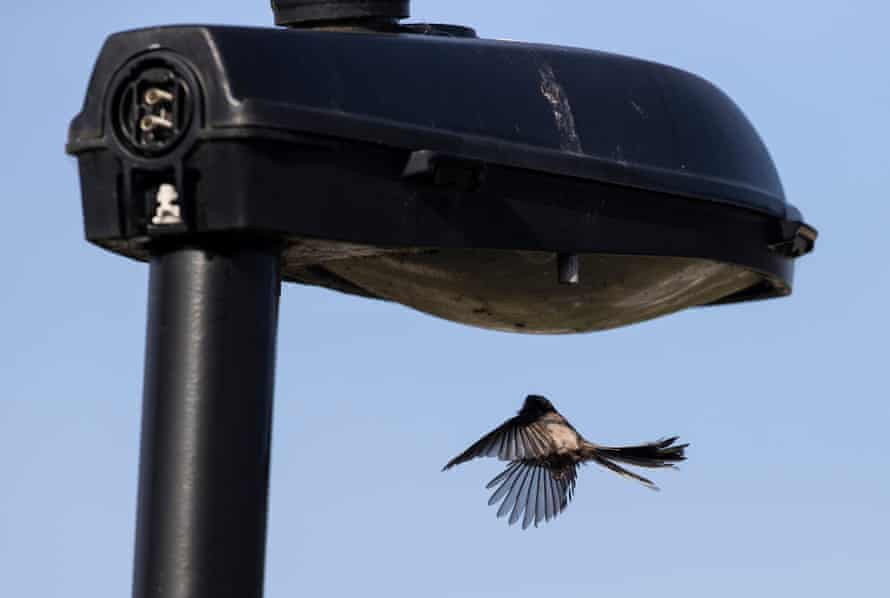 An adult long-tailed tit plays by hovering under the street lamp that overlooks my front garden