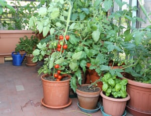 Tomato and basil plant in the pot on the terrace of a house in the city