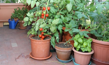 Is squarer better? Tomato and basil plants. Photograph: Alamy