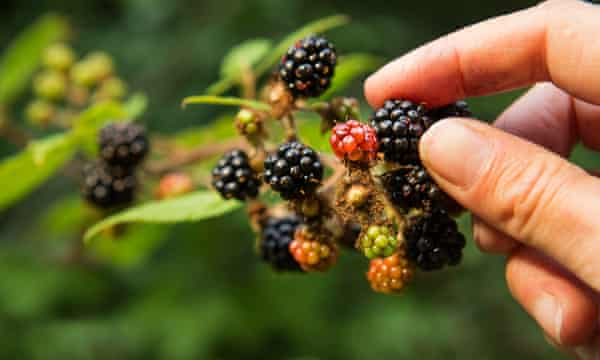Hand picking blackberries