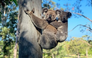 A mother and baby koala