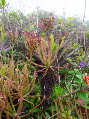 In Brazil, a new insect-eating plant, Drosera magnifica, was discovered