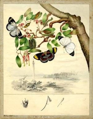 Black jezebel butterfly by Helena Scott