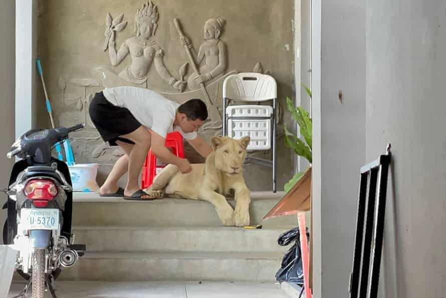 A male lion is confiscated by authorities in Cambodia from a private residence in Phnom Penh where it was being raised as a pet.
