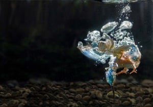 A kingfisher dives underwater to grab its prey in Ferrara, Italy